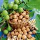 Грецкий орех, очищенный, высший сорт, 100 гр.